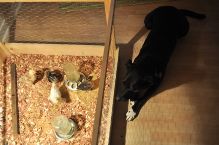 Dog and chickens
