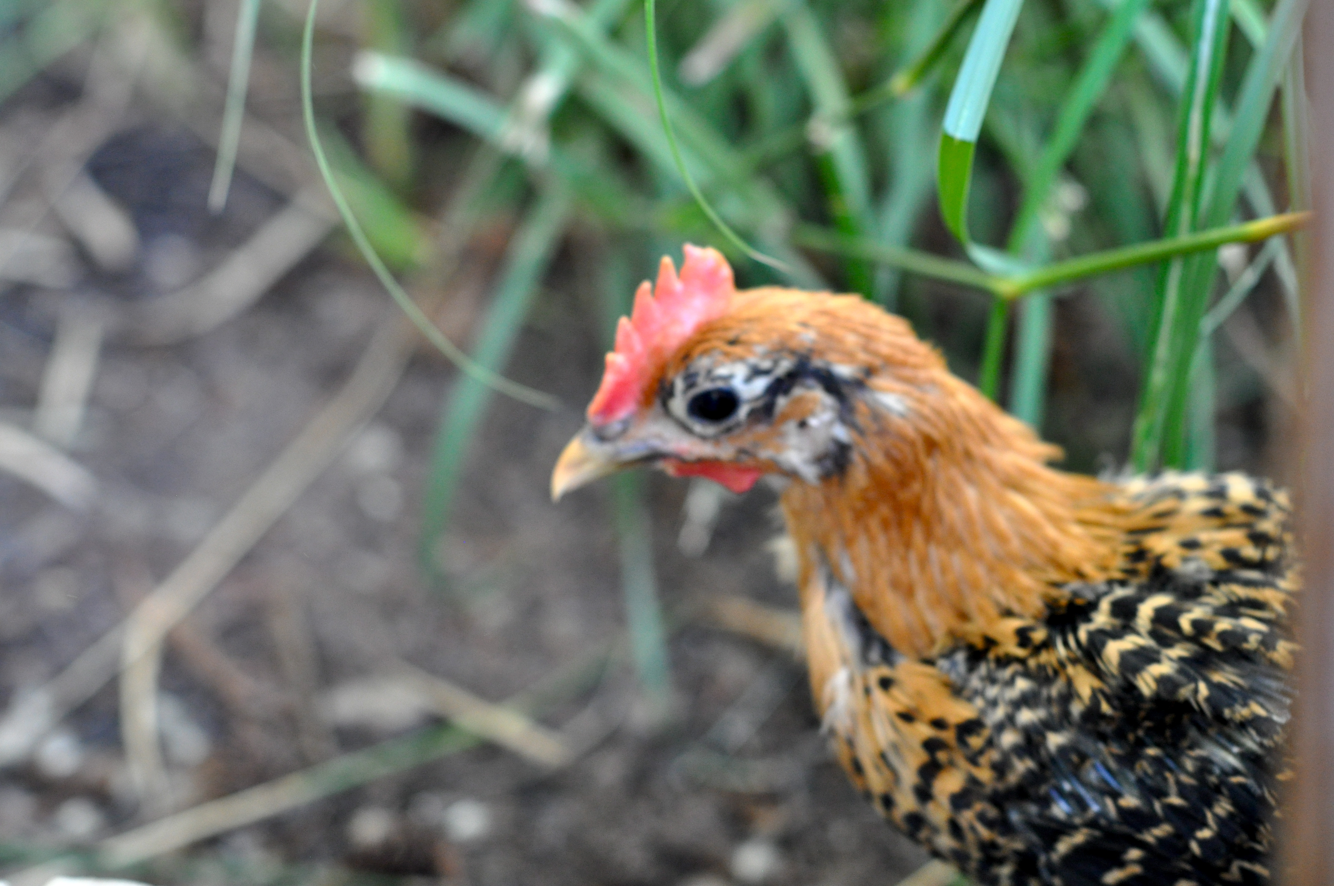 how to catch a mean rooster