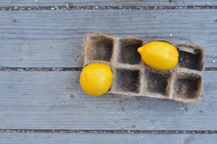 two Meyer lemons