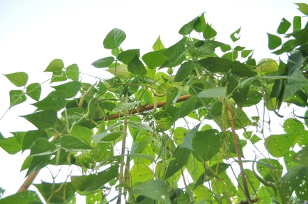 pole beans on the vine