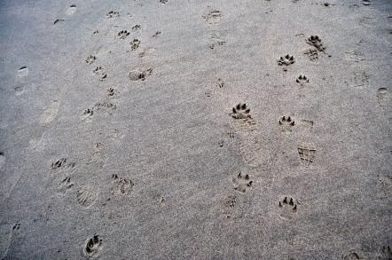 paw prints at Limantour Beach