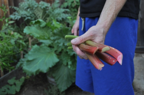 rhubarb from the garden